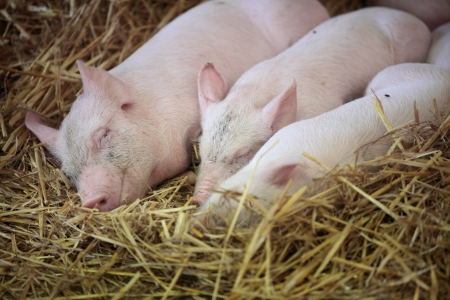 pigpen: Three little pigs sleeping in the straw. Stock Photo