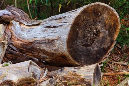 sawed: Felled gum tree lying in bushland