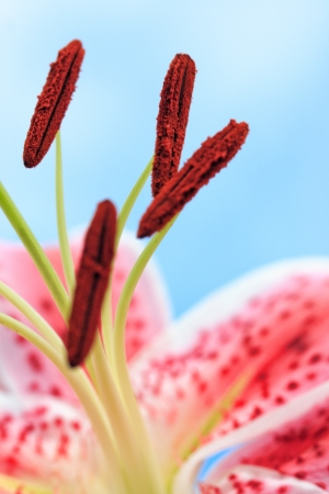 stargazer lily: A beautiful pink stargazer lily flower abstract against blue sky  Selective focus