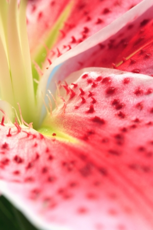 stargazer lily: Beautiful closeup abstract of a stargazer lily in full bloom during spring.
