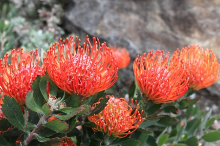 flowering plant: Ornamental flowering leucospermum bush. Also commonly known as pincushion protea.