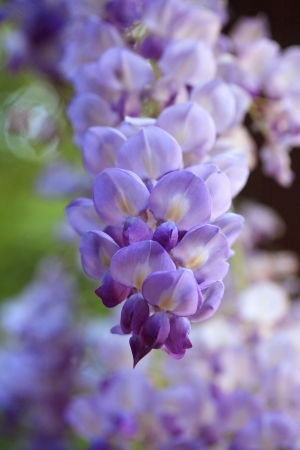 Fabaceae: The magnificent Wisteria flowers are produced in pendulous racemes (clusters) 10 to 80 cm long during spring