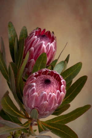 protea flower: Beautiful soft pink Proteas in bloom.  Also known as bearded sugarbushes. The flower is surrounded by colourful velvety bracts which slowly open up
