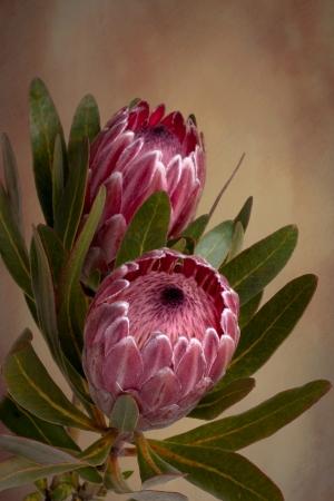 despacio: Proteas rosados ??suaves hermosos en la floración. También conocido como sugarbushes barbudos. La flor está rodeada de brácteas aterciopeladas de colores que poco a poco se abren