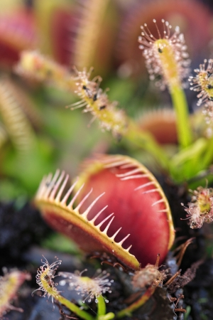Carnivorous Venus Fly Traps  Dionaea muscipula  and Sundews  Drosera capensis  in garden    Plants secrete digestive enzymes s until the insect is liquified and its soluble contents digested  Buyers, image has hallow dof