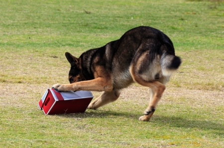 Working German Shepherd dog sniffing a suspecting  package for drugs or explosives.  Note:  there is motion blur in all of the dogs legs. Stock Photo