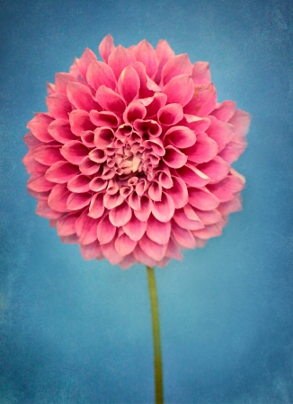 showy: Beautiful showy double pink dahlia on a rustic blue textured background that emotes a painterly appearance. Stock Photo