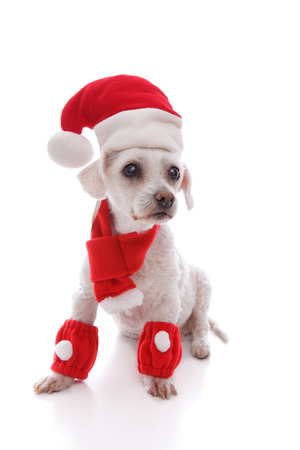 bright eyed: Bright eyed adorable white dog dressed in a scarf and leg warmers and wearing a santa hat at Christmas. Stock Photo