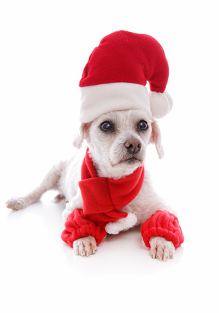 leg warmers: Cosy dog wearing a scarf leg warmers and a santa claus hat for Christmas   White background