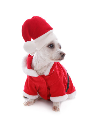 Dog dressed in a Santa Claus costume looks sideways, possibly at your message   White background  photo