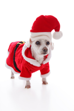 dog in costume: Small white dog wears a red and white santa claus costume and hat at Christmas  White background  Stock Photo