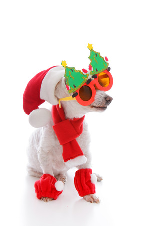 religious clothing: Happy dog wearing a santa hat, comical Christmas glasses and scarf and leggings