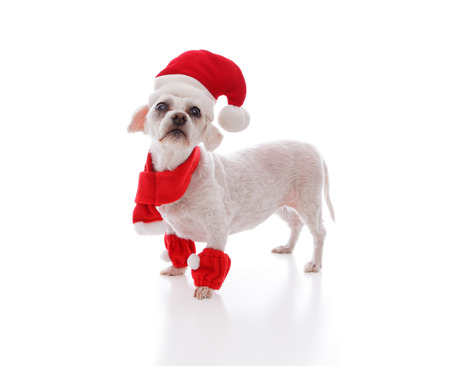 Little white festive dog looking in anticpation for santa or at your message   White background  photo