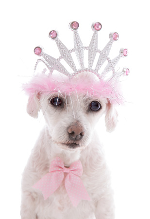 pampered pets: Little Princess   A small white clipped maltese terrier, a very pampered pet dog wearing a tiara and pink and white spotted ribbon bow  Stock Photo