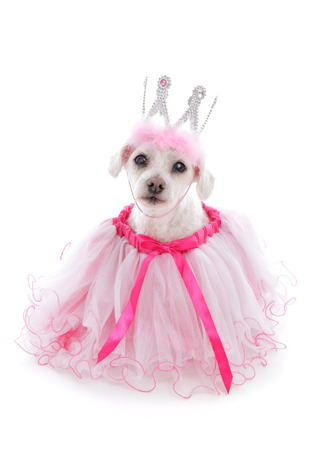 maltese dog: Pampered princess pooch wearing a pale pink tulle dress and bejewelled crown.  Party, halloween, etc.  White background.