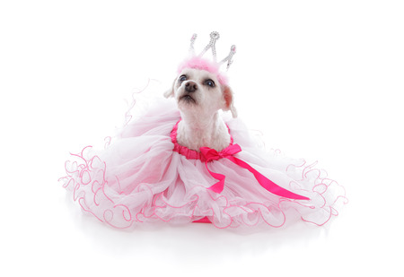 frilled: Pampered pet dog wearing a princess tiara and pretty soft pink frilled tulle dress with pink ribbon.  Looking up with anticipation.  White background