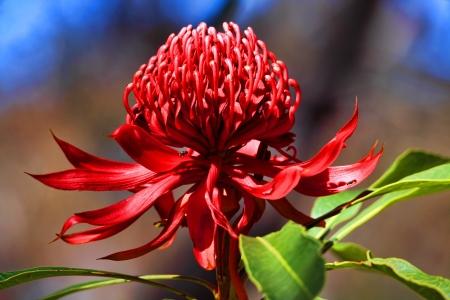 Waratah blooms in bushland under the spring sunshine  in NSW, Australia