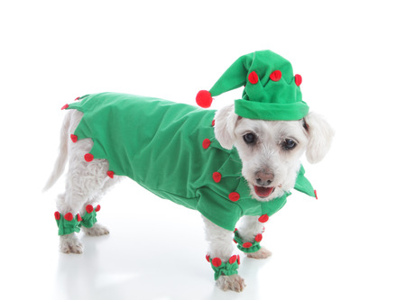 santa s elf: Pet dog wearing a red and green coat and pointy hat  Suitable as a Christmas Elf, jester or leprechaun  White background  Stock Photo