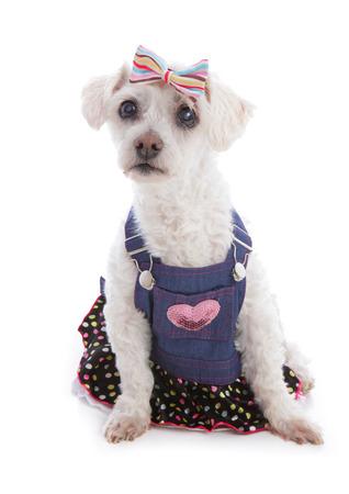 bow hair: Perro blanco peque�o que desgasta un babero del dril de algod�n y vestido de cors� con volante de lunares y una diadema para el pelo
