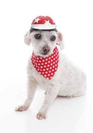 red bandana: White dog wearing a bike helmet and red bandana with stars