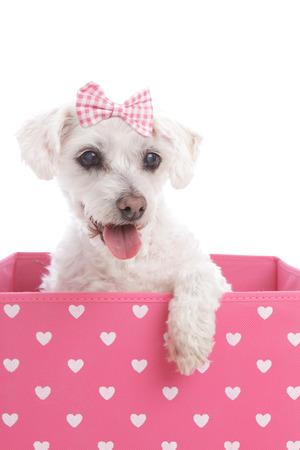 bow hair: Terrier malt�s bonita con el pelo del arco rosado que se sienta dentro de un cuadro de coraz�n de color rosa. El fondo blanco. Foto de archivo