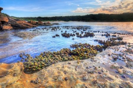 plankton: As� que la marea hab�a lavado y una oportunidad para fotografiar el cunjevoi o ascidias son animales intermareales que se adhieren a las rocas de marea y viven de plancton con un sif�n el agua de mar Se arrojan a chorros al pisarla o perturbado Focus