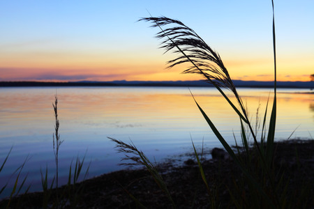 inlet bay: Silhouette of reeds against the sunset at sundown