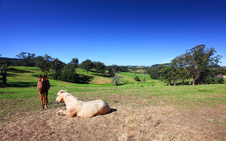 as far as the eye can see: Grassy fields and gum trees, horses and cows and hills as far as the eye can see    Austalian landscape   Focus to palomino