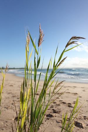 Beach reeds glisten and sway in the morning breeze.