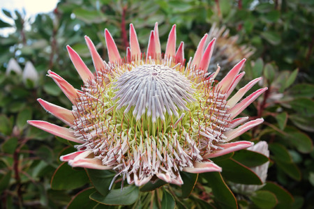 bracts large: The Giant or King Protea, Protea cynaroides of the Proteaceae family.  Flowers can be up the 30cm large and are an excellent cut flower and dried flower.