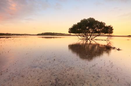 bonny: Single mangrove tree and its distinctive peg roots sticking up through sandy tidal shallows  - warm tones.   Bonny Vale Australia