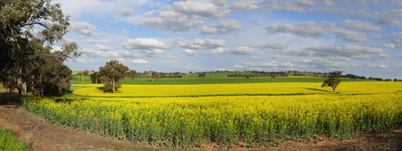 nsw: A canola plantation crop in country NSW growing under sunny spring skies. Stock Photo