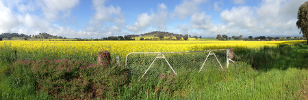 tonne: Canola fields growing in Cowra NSW Australia. These crops are in the top 2% of Canola growing in Australia, because of their high yield. A acre will yeild around 500-600 tonne of seed. A farmer is currently paid $480 per tonne of canola seed. (2014) Editorial
