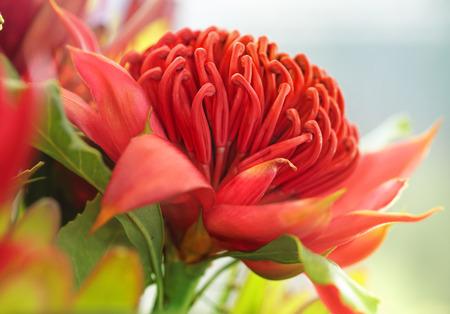 flowerhead: Beautiful red Waratah fllower in spring. Stock Photo