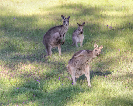 threesome: Yo bro wassup, just chillin with  me mates in the outback.  Kangaroo busts some moves in the late afternoon sunshine.  Focus to foreground kangaroo only. Stock Photo