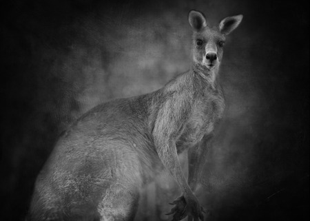 derives: Australian kangaroo with ears pricked and regal stance. The word kangaroo derives from the Guugu Yimithirr word gangurru, referring to grey kangaroos. The kangaroo is the largest marsupial in the world.  Presented on a textured background.
