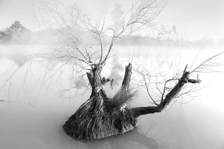 gnarled: Foggy morning  at Pughs Lagoon.  Single  gnarled tree in foreground waters. Stock Photo
