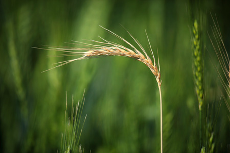 anthesis: Wheat crop heads closeup growing in a field farmland.