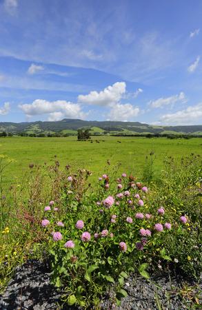 Cows grazing in fields at Rose Valley, near Kiama Australia photo