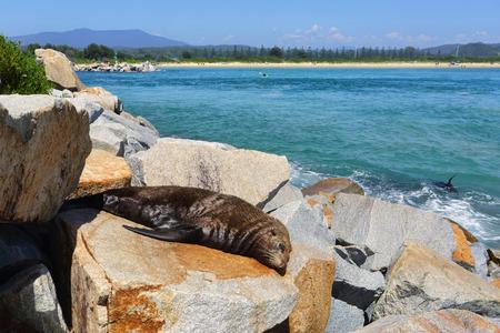 wellness sleepy: Sleepy fur seal basques in the summer sunshine at Narooma.