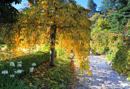 betula pendula: Un bellissimo albero di pianto, le sue aggraziate arti lunghi e sottili con ovate foglie colori di oro, giallo e verde che � retroilluminato dalla luce del sole. Penso che questa sia una betulla piangente