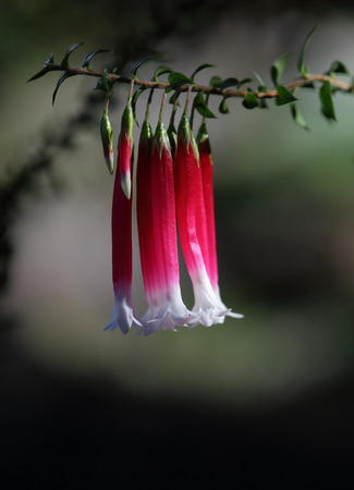 tubular flowers: Native fuschia flower, Epacris longiflora.  A tiny flower, red tubular shaped with white lobes growing in the Sydney, Hawkesbury sandstone areas