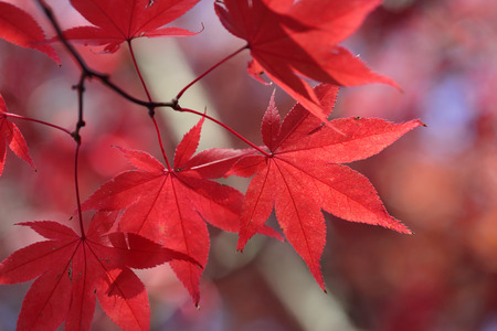flaws: These red maple leaves all have unique and distinct markings created by nature.  Their flaws are all individual Stock Photo