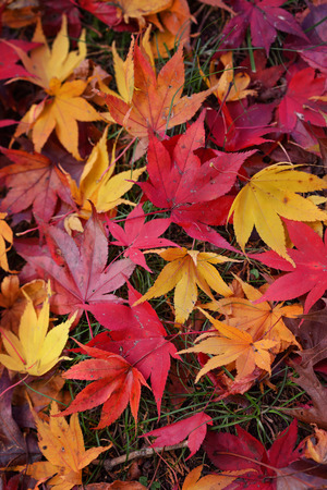 autumn colour: Autumn leaves shed from the trees create a mosaic of colour on the ground.  amber, red, orange, brown,