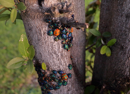 sheen: Tectocoris diophthalmus, commonly known as the Hibiscus Harlequin Bug or Cotton Harlequin Bug, is a brightly coloured convex and rounded shield-shaped bug with a metallic sheen that grows to about 20 mm.  They eat the hibuscus and cotton plants Stock Photo