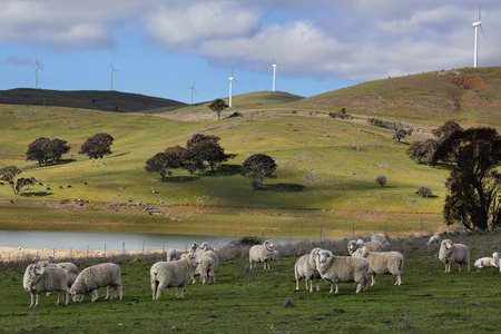 Sheep grazing below the Blayney to Carcoar windfarm, Central West NSW.  The distant fields have cattle grazing.  Focus to foreground Stock Photo