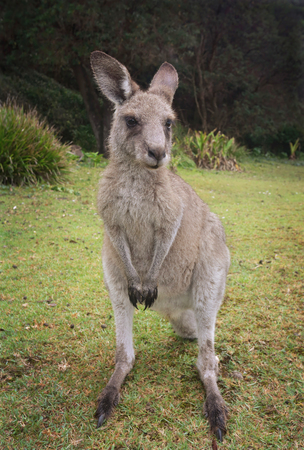 nsw: A young  eastern grey kangaroo in beautiful bushland in NSW Australia
