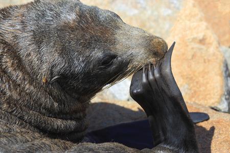 flippers: Lobo marino australiano rascarse una picazón usando clavos en sus aletas.