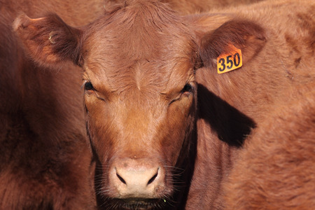Australian beef shorthorns are known for their good temperament and carcass quality..  Although colour ranges from red to roan to white, roan and red are the predominant colours.