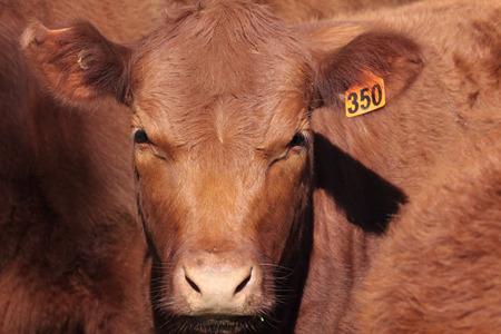carcass: Australische rundvlees Shortorn staan bekend om hun goede temperament en karkas kwaliteit .. Hoewel de kleur varieert van rood Roan naar wit, Roan en rood zijn de overheersende kleuren. Stockfoto